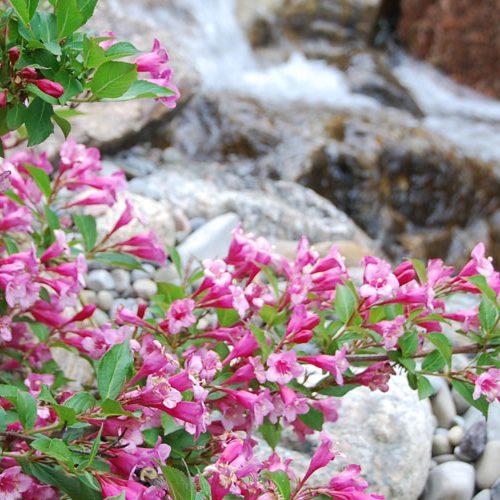 header-fleurs-roses