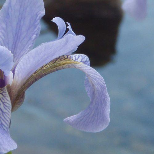 header-iris-versicolore